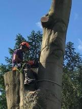Beech tree 9